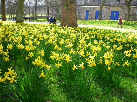Scottish daffodils in March = climate change?
