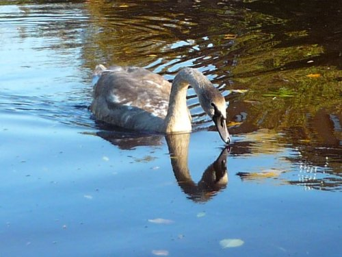Almost-grown-up cygnet on the river