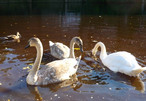 cygnets on the river