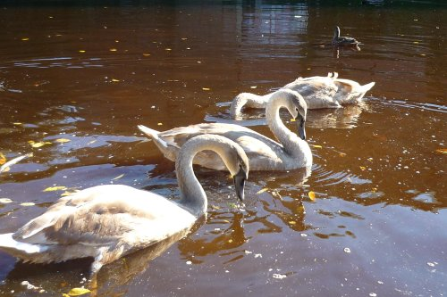 Swans on the river