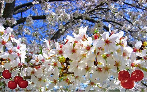 Cherries and cherry blossom