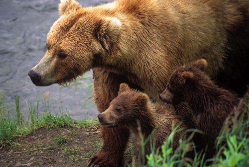 Mama bear and cubs